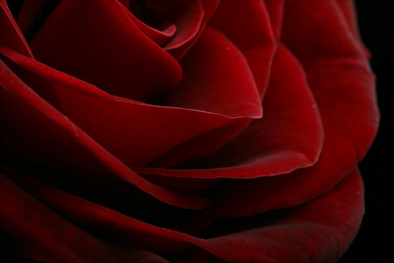 red-rose-closeup-declan-mccullagh-graph_71868